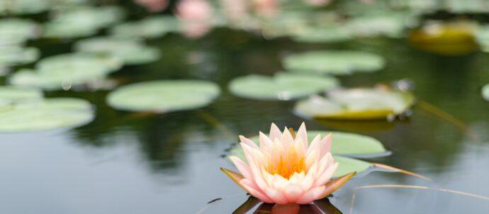 Lotus in nature